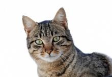 10 อันดับสายพันธุ์แมวนิสัยเป็นมิตร แม้ในบ้านมีเด็กก็เลี้ยงได้